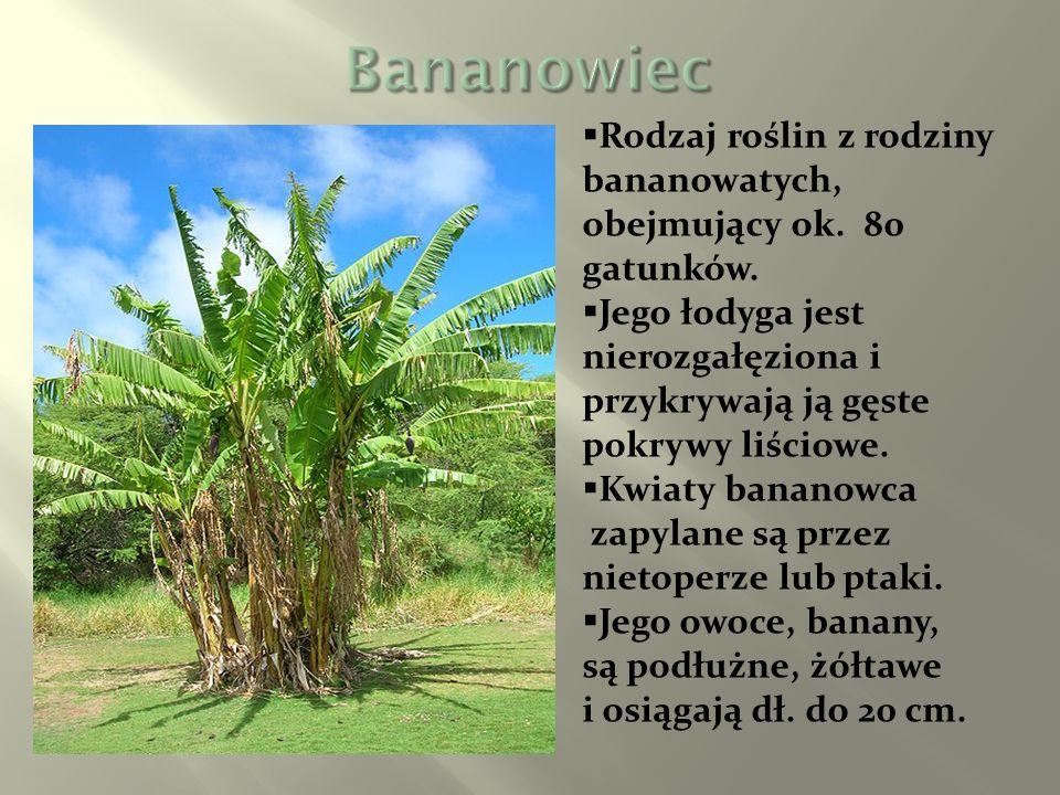 Rodzaj roślin z rodziny bananowatych, obejmujący ok. 80 gatunków. Jego łodyga jest nierozgałęziona i przykrywają ją gęste pokrywy liściowe. Kwiaty ban