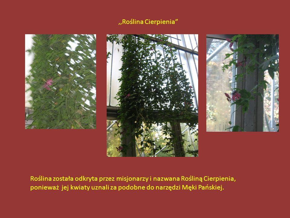 Drzewo,,Kiełbasiane Owoce tego drzewa do złudzenia przypominają suszoną kiełbasę, są jednak źle przyswajane przez organizm człowieka-nie radzę kosztow