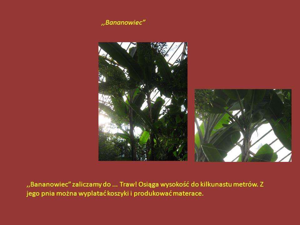 Roślina została odkryta przez misjonarzy i nazwana Rośliną Cierpienia, ponieważ jej kwiaty uznali za podobne do narzędzi Męki Pańskiej.,,Roślina Cierp