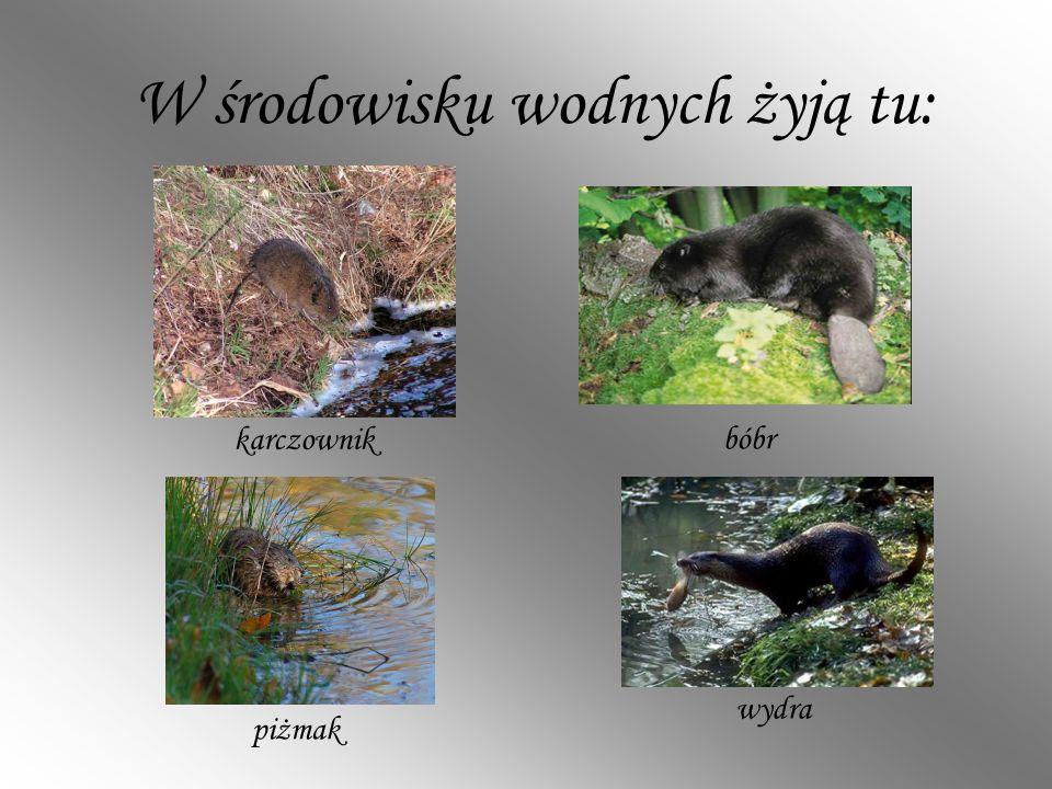 W środowisku wodnych żyją tu: bóbr wydra piżmak karczownik