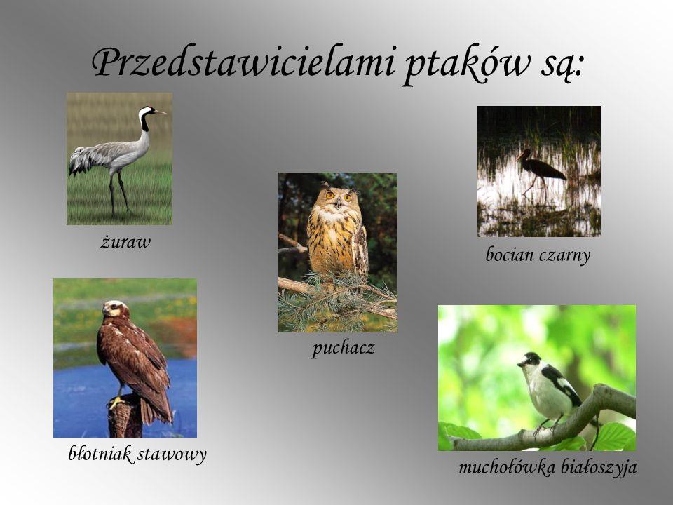 Przedstawicielami ptaków są: muchołówka białoszyja błotniak stawowy żuraw puchacz bocian czarny