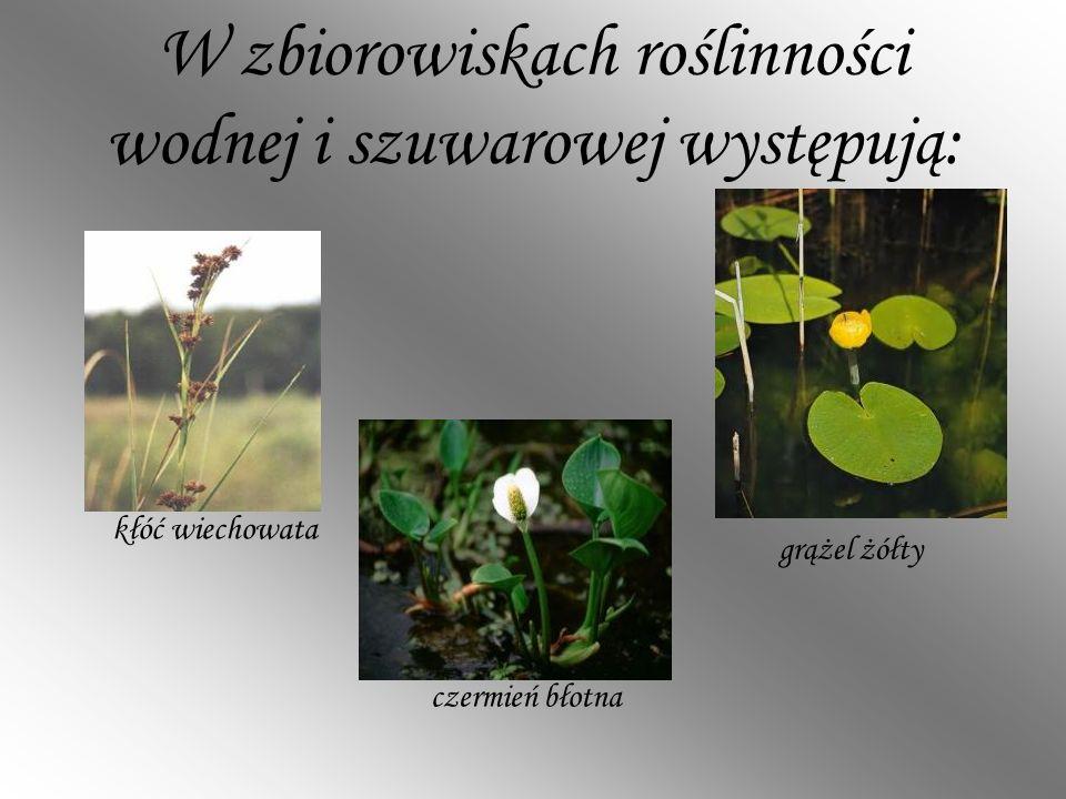 W zbiorowiskach roślinności wodnej i szuwarowej występują: kłóć wiechowata czermień błotna grążel żółty