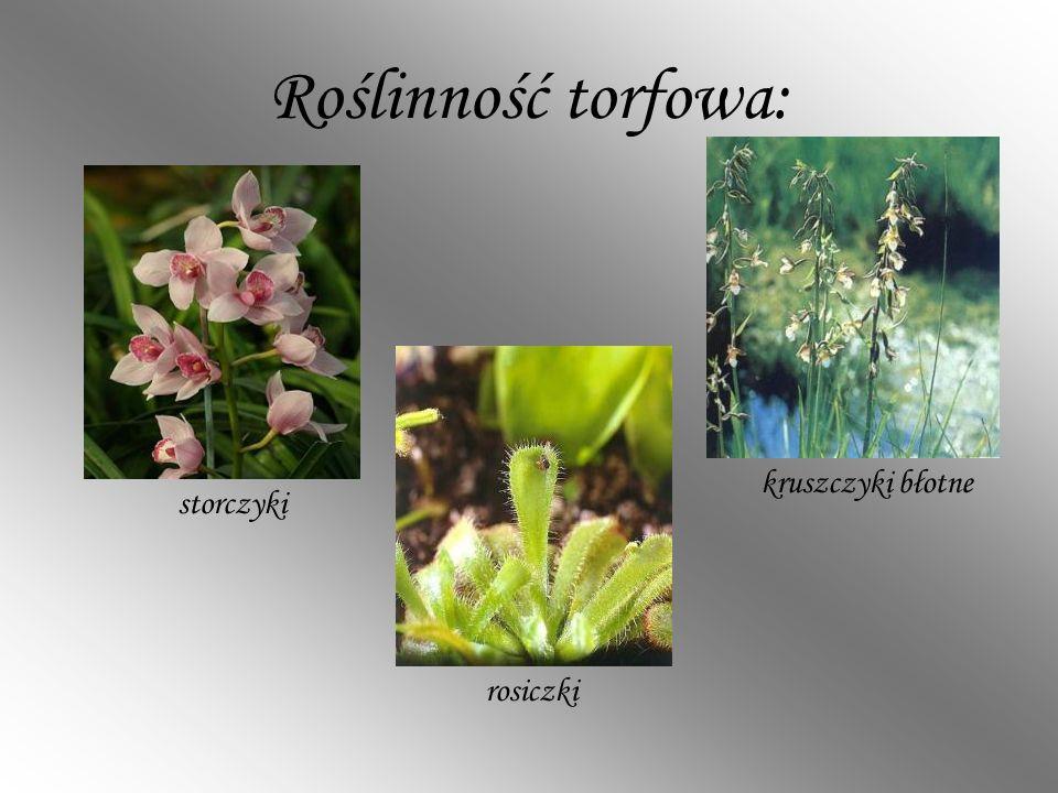 Roślinność torfowa: storczyki rosiczki kruszczyki błotne