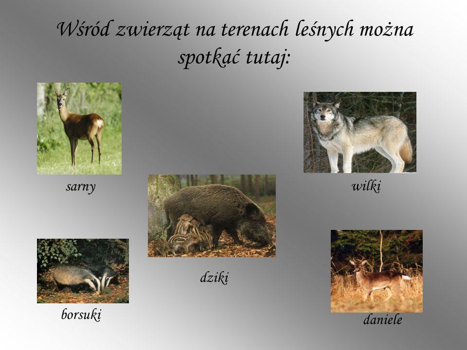Wśród zwierząt na terenach leśnych można spotkać tutaj: daniele sarny wilki borsuki dziki