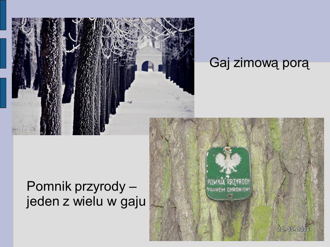 Pomnik przyrody – jeden z wielu w gaju Gaj zimową porą