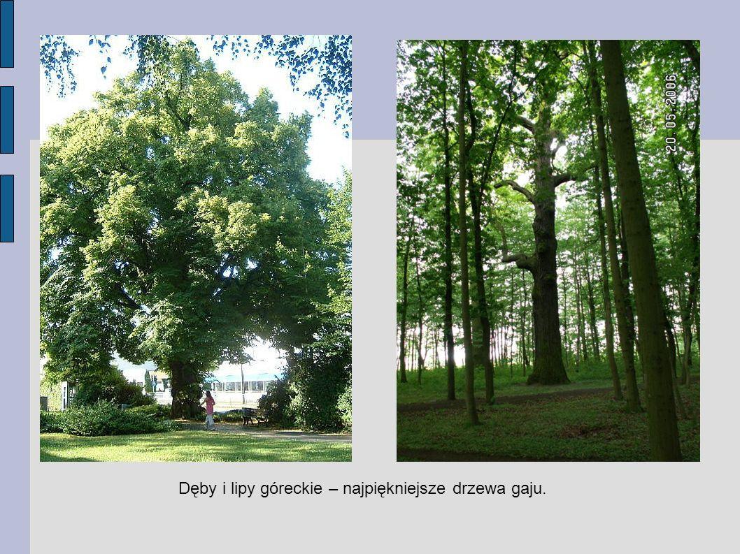 Dęby i lipy góreckie – najpiękniejsze drzewa gaju.
