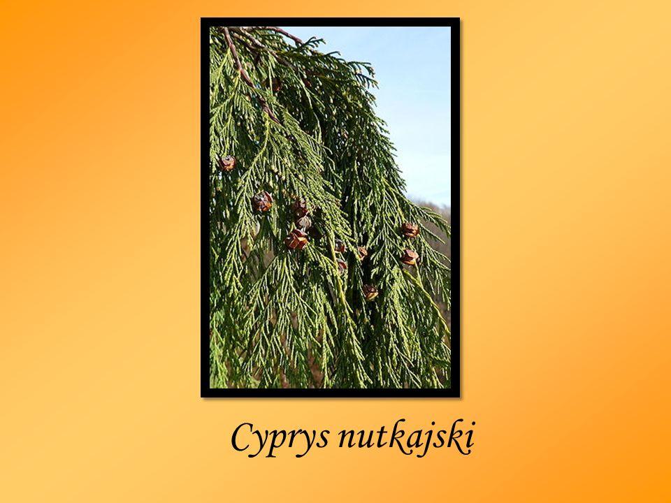 Cyprys nutkajski