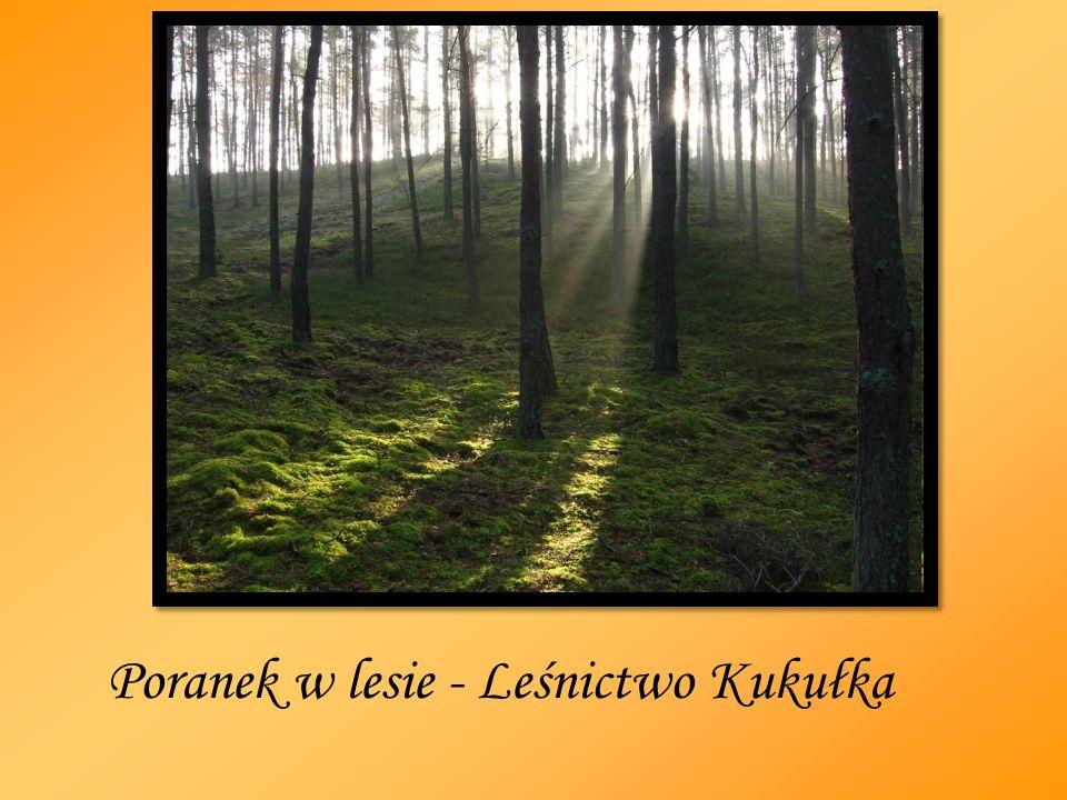 Poranek w lesie - Leśnictwo Kukułka