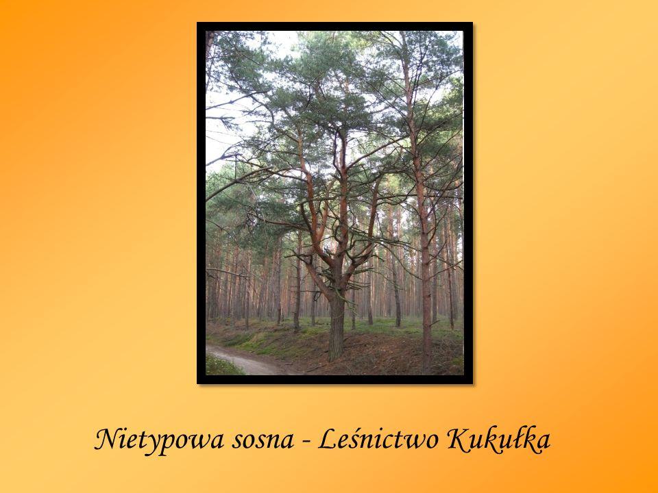 Nietypowa sosna - Leśnictwo Kukułka