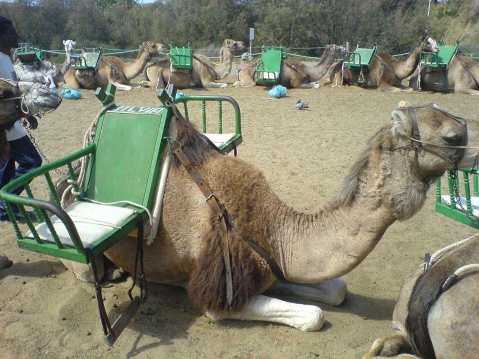 Maspalomas, wielbłądy oczekują na turystów