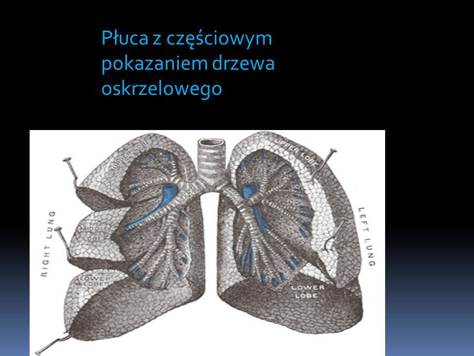 Płuca z częściowym pokazaniem drzewa oskrzelowego
