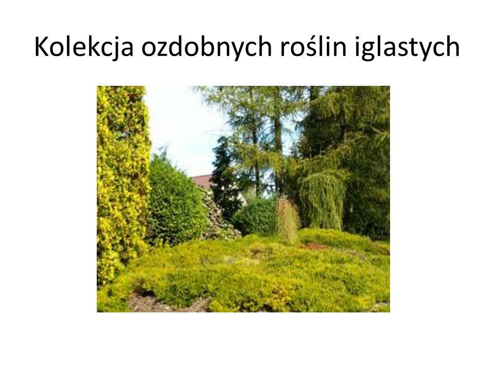 Kolekcja ozdobnych roślin iglastych