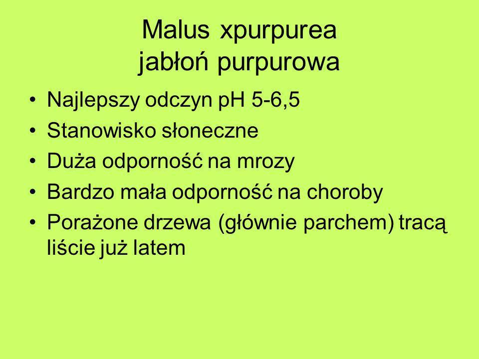 Malus xpurpurea jabłoń purpurowa Najlepszy odczyn pH 5-6,5 Stanowisko słoneczne Duża odporność na mrozy Bardzo mała odporność na choroby Porażone drze