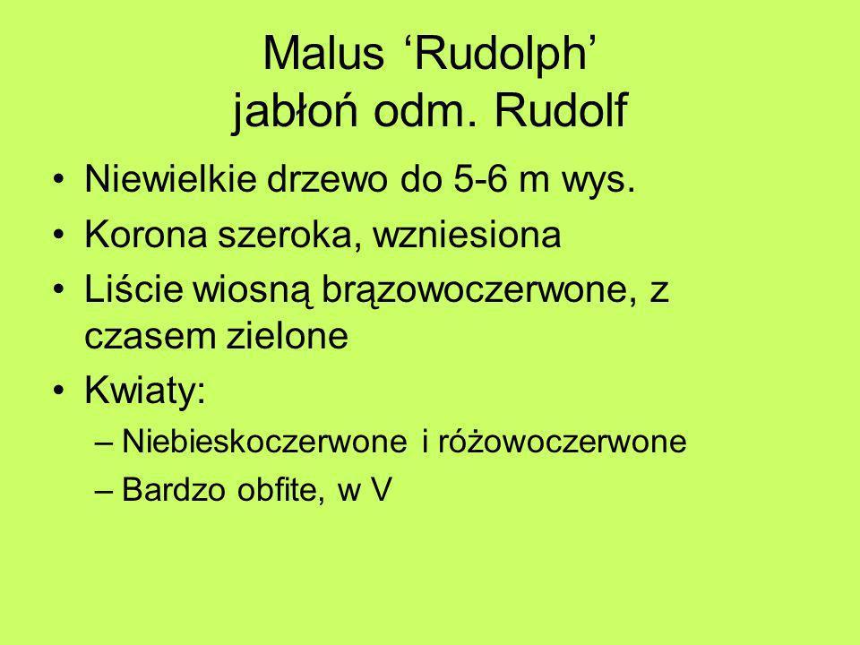 Malus Rudolph jabłoń odm. Rudolf Niewielkie drzewo do 5-6 m wys. Korona szeroka, wzniesiona Liście wiosną brązowoczerwone, z czasem zielone Kwiaty: –N