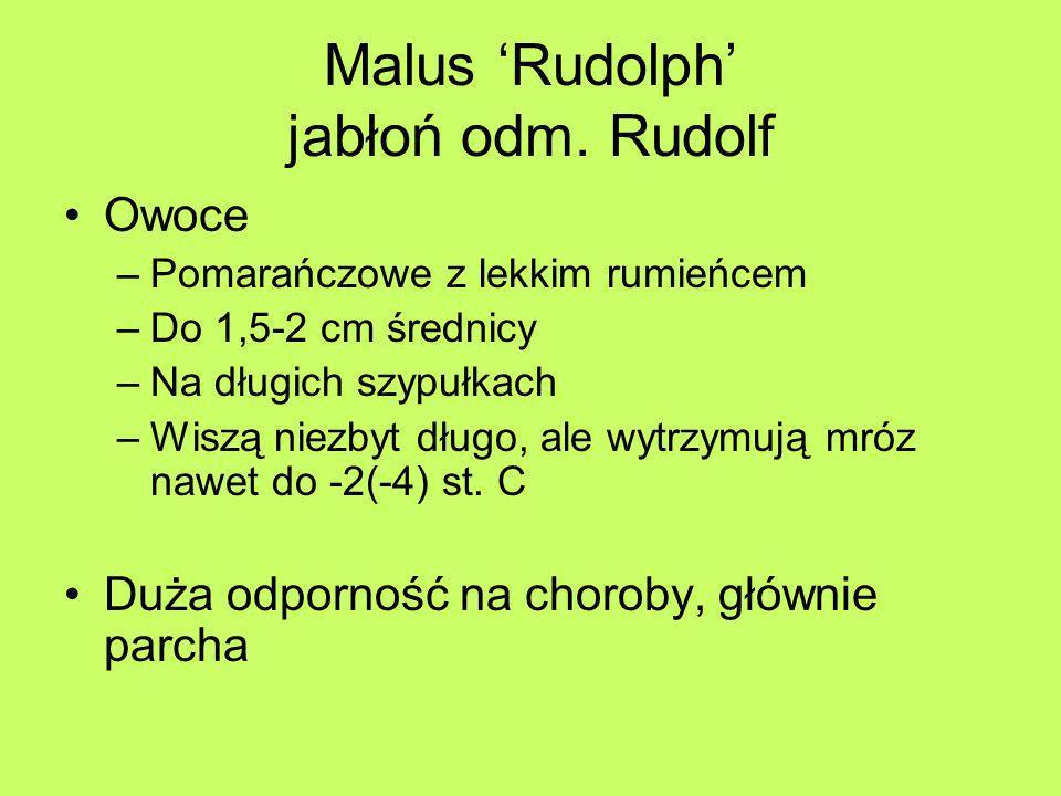 Malus Rudolph jabłoń odm. Rudolf Owoce –Pomarańczowe z lekkim rumieńcem –Do 1,5-2 cm średnicy –Na długich szypułkach –Wiszą niezbyt długo, ale wytrzym