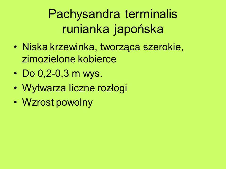 Pachysandra terminalis runianka japońska Niska krzewinka, tworząca szerokie, zimozielone kobierce Do 0,2-0,3 m wys. Wytwarza liczne rozłogi Wzrost pow