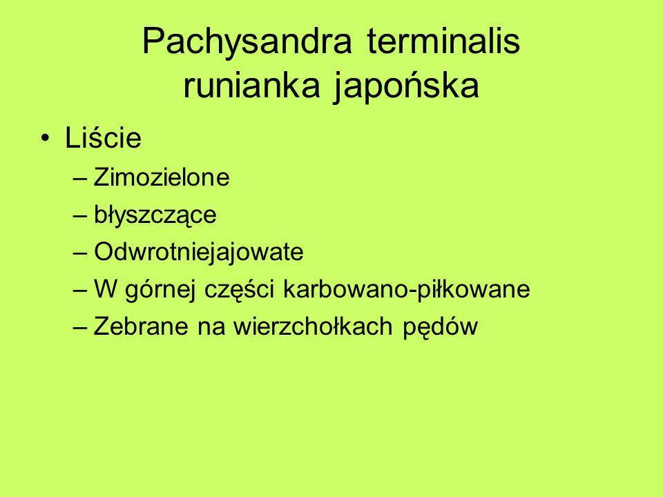 Pachysandra terminalis runianka japońska Liście –Zimozielone –błyszczące –Odwrotniejajowate –W górnej części karbowano-piłkowane –Zebrane na wierzchoł