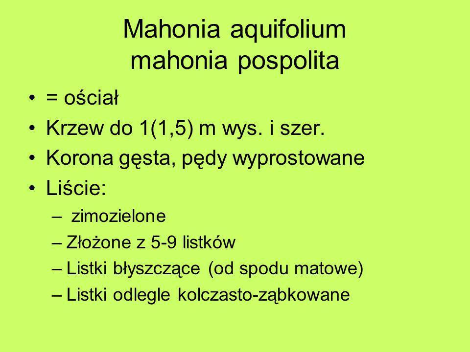 Mahonia aquifolium mahonia pospolita = ościał Krzew do 1(1,5) m wys. i szer. Korona gęsta, pędy wyprostowane Liście: – zimozielone –Złożone z 5-9 list
