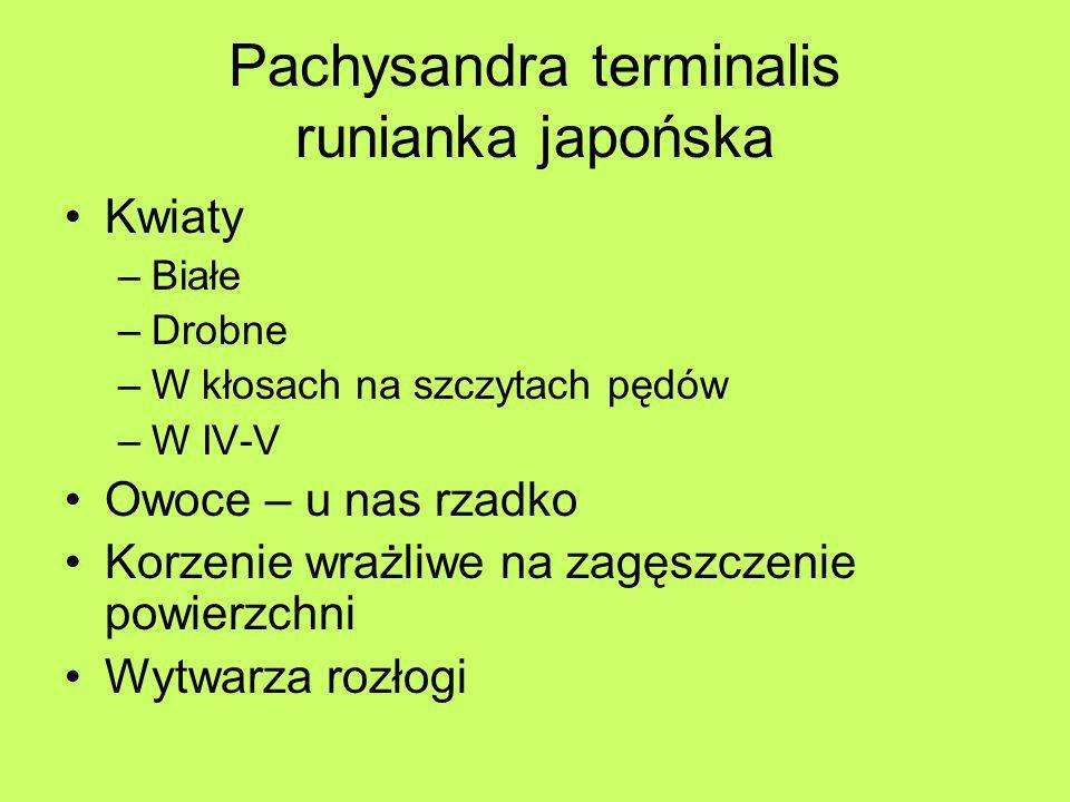 Pachysandra terminalis runianka japońska Kwiaty –Białe –Drobne –W kłosach na szczytach pędów –W IV-V Owoce – u nas rzadko Korzenie wrażliwe na zagęszc