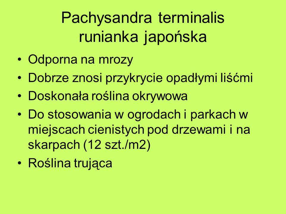Pachysandra terminalis runianka japońska Odporna na mrozy Dobrze znosi przykrycie opadłymi liśćmi Doskonała roślina okrywowa Do stosowania w ogrodach