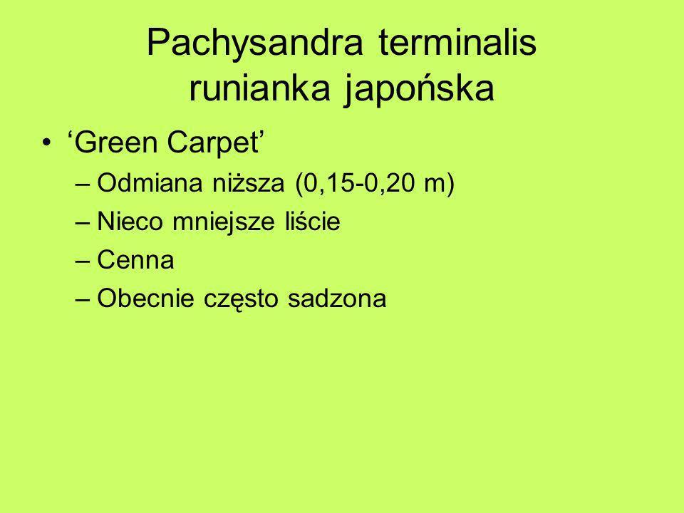 Pachysandra terminalis runianka japońska Green Carpet –Odmiana niższa (0,15-0,20 m) –Nieco mniejsze liście –Cenna –Obecnie często sadzona