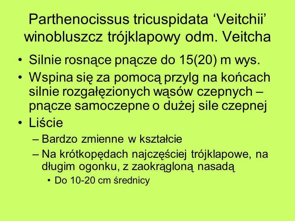 Parthenocissus tricuspidata Veitchii winobluszcz trójklapowy odm. Veitcha Silnie rosnące pnącze do 15(20) m wys. Wspina się za pomocą przylg na końcac