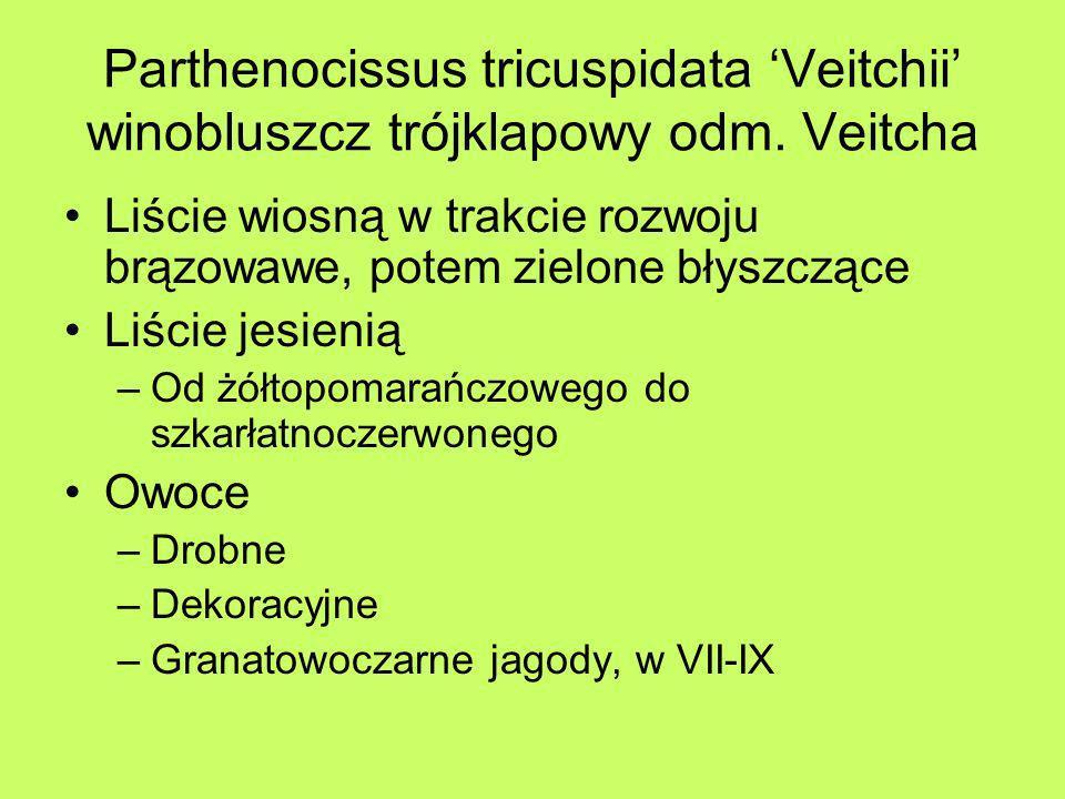 Parthenocissus tricuspidata Veitchii winobluszcz trójklapowy odm. Veitcha Liście wiosną w trakcie rozwoju brązowawe, potem zielone błyszczące Liście j