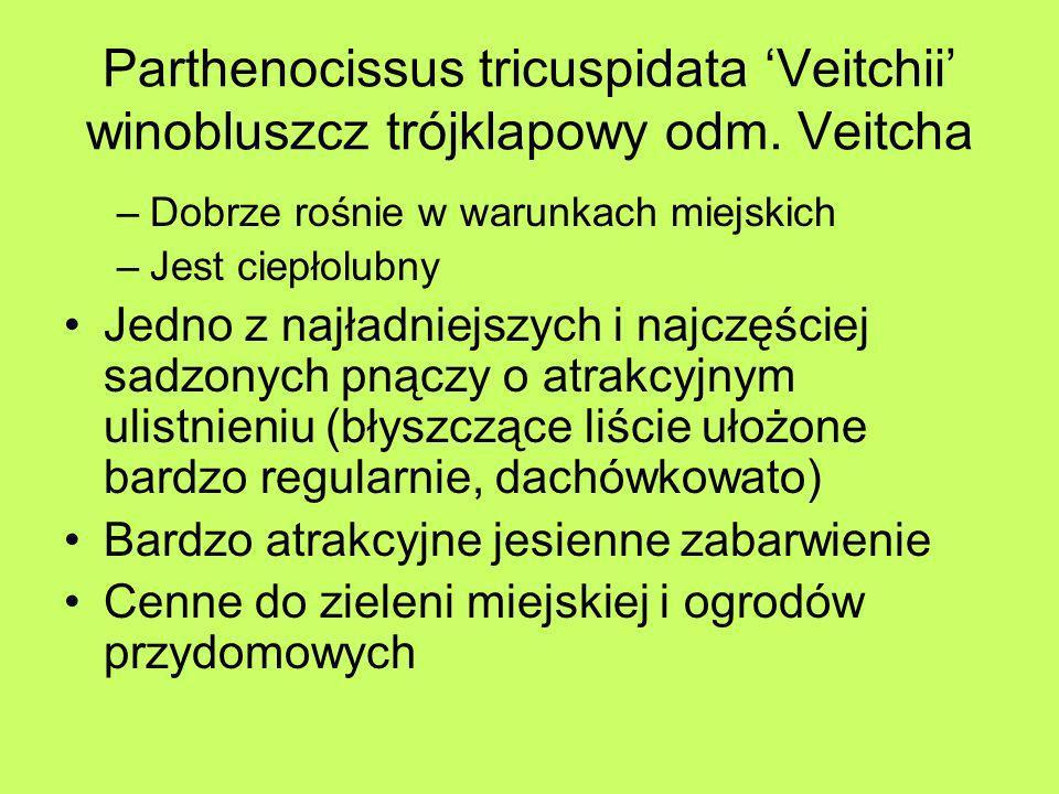 Parthenocissus tricuspidata Veitchii winobluszcz trójklapowy odm. Veitcha –Dobrze rośnie w warunkach miejskich –Jest ciepłolubny Jedno z najładniejszy