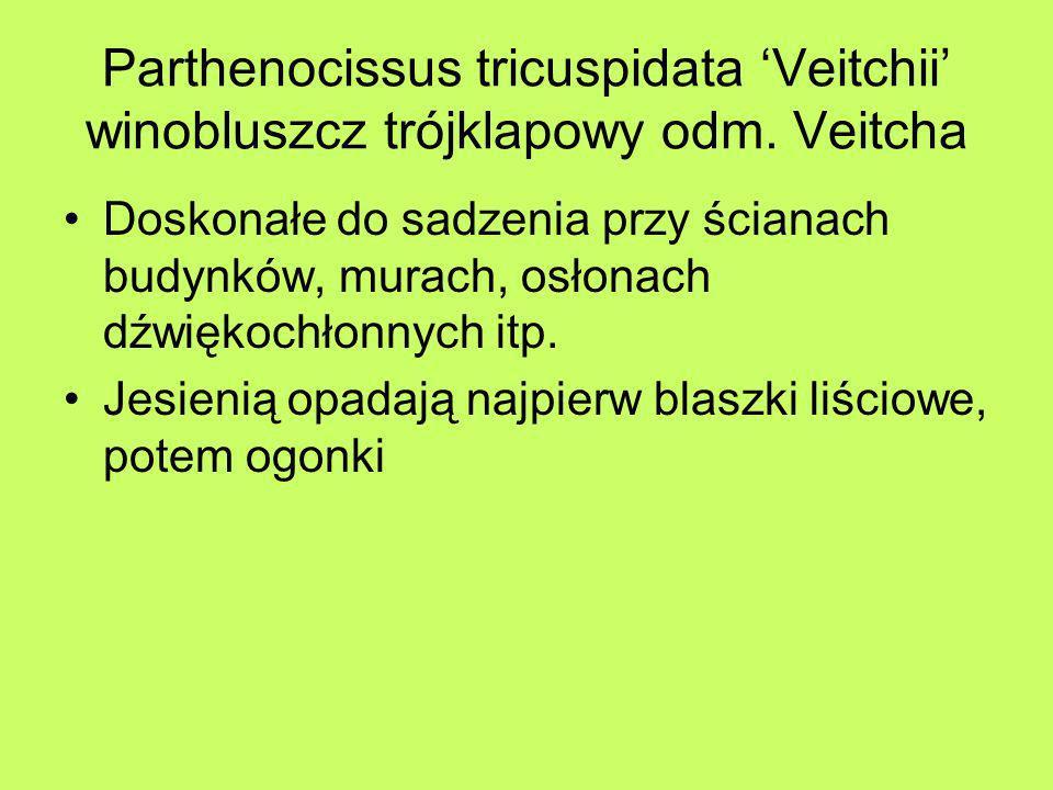 Parthenocissus tricuspidata Veitchii winobluszcz trójklapowy odm. Veitcha Doskonałe do sadzenia przy ścianach budynków, murach, osłonach dźwiękochłonn
