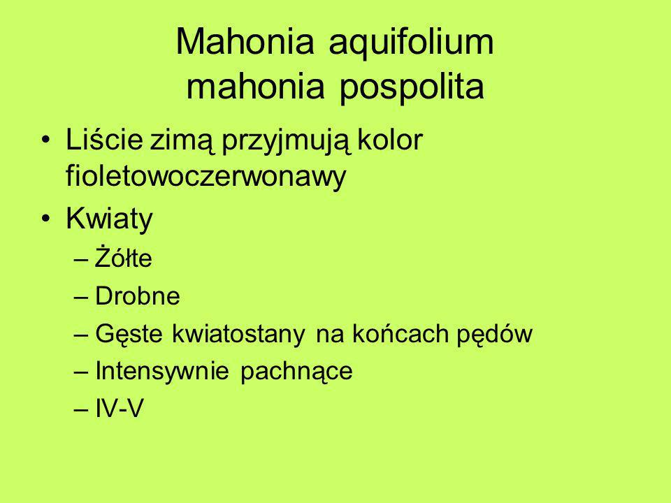 Mahonia aquifolium mahonia pospolita Owoce –Granatowe –Z nalotem woskowym –Soczyste –Sok czerwonawy, brudzący Dobrze znosi konkurencję drzew Nie znosi zagęszczenia gruntu Korzenie zawierają żółty, trujący sok