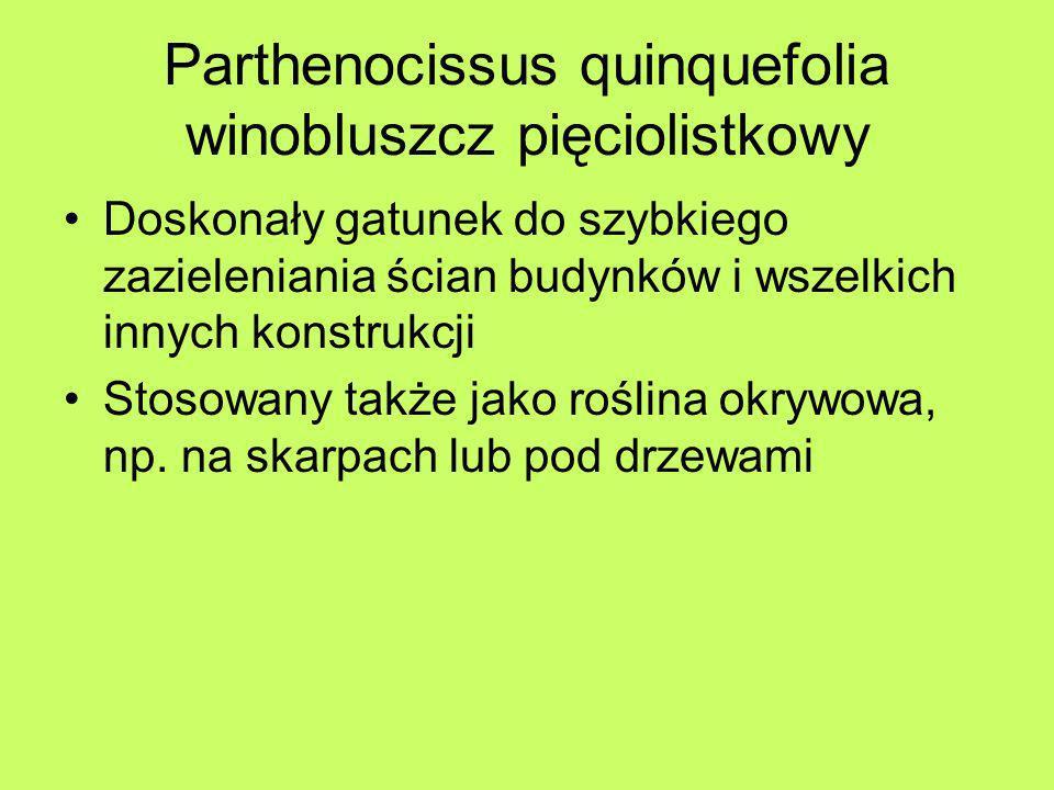 Parthenocissus quinquefolia winobluszcz pięciolistkowy Doskonały gatunek do szybkiego zazieleniania ścian budynków i wszelkich innych konstrukcji Stos