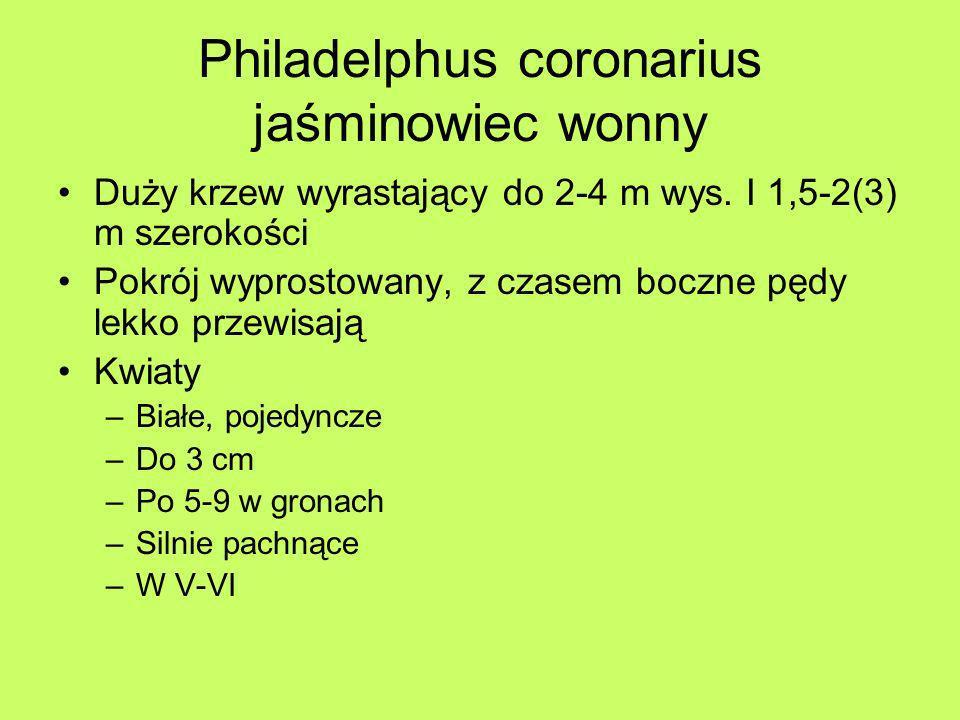 Philadelphus coronarius jaśminowiec wonny Duży krzew wyrastający do 2-4 m wys. I 1,5-2(3) m szerokości Pokrój wyprostowany, z czasem boczne pędy lekko