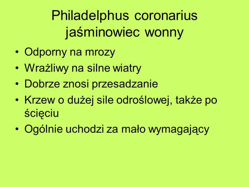 Philadelphus coronarius jaśminowiec wonny Odporny na mrozy Wrażliwy na silne wiatry Dobrze znosi przesadzanie Krzew o dużej sile odroślowej, także po