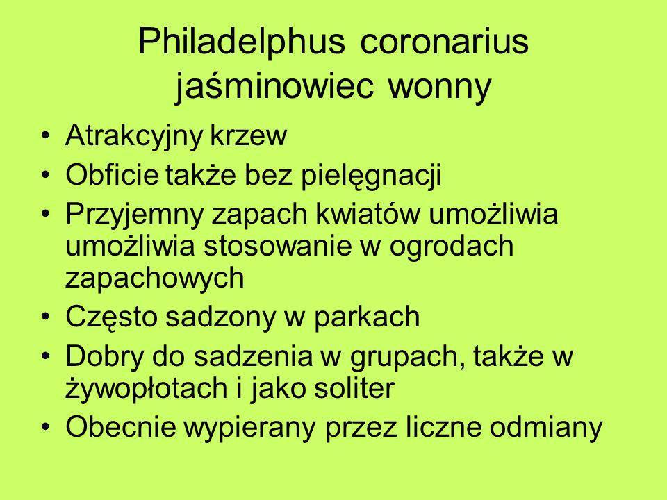 Philadelphus coronarius jaśminowiec wonny Atrakcyjny krzew Obficie także bez pielęgnacji Przyjemny zapach kwiatów umożliwia umożliwia stosowanie w ogr