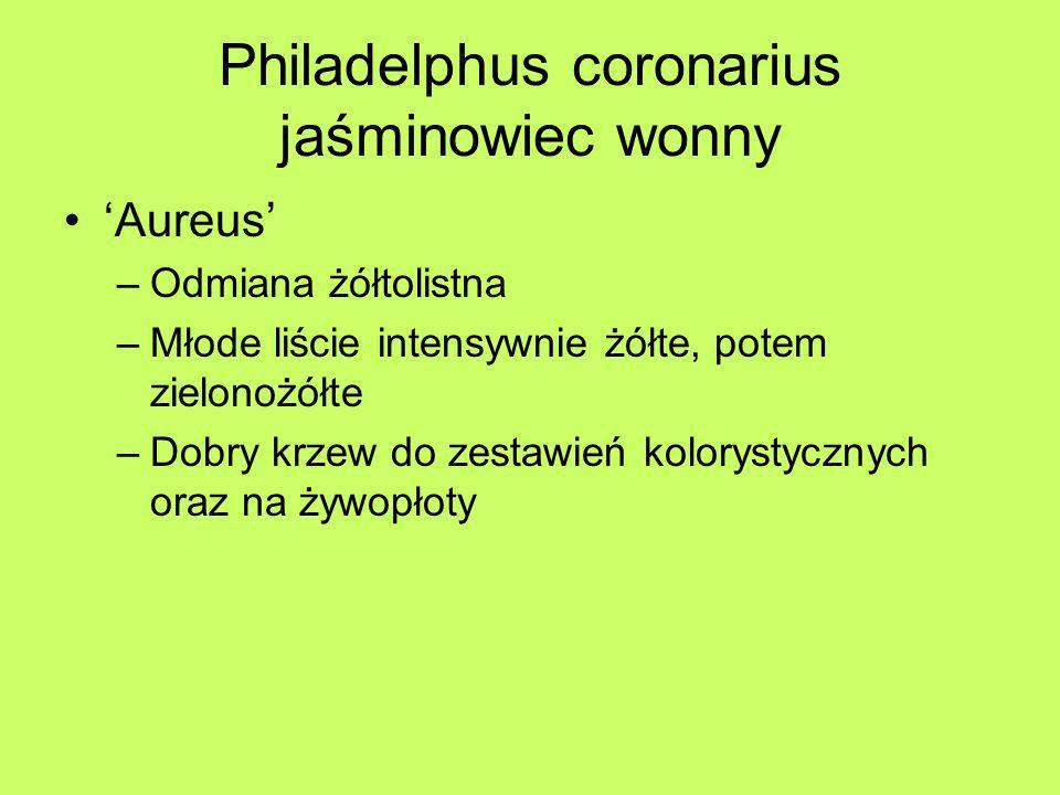 Philadelphus coronarius jaśminowiec wonny Aureus –Odmiana żółtolistna –Młode liście intensywnie żółte, potem zielonożółte –Dobry krzew do zestawień ko