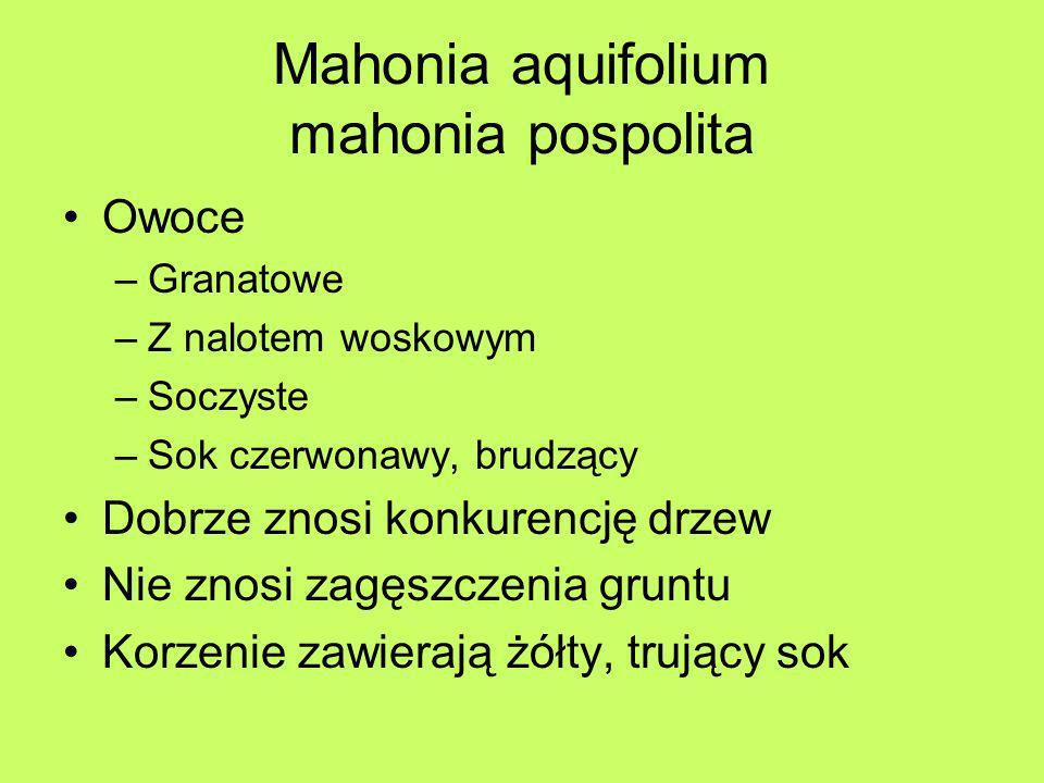 Mahonia aquifolium mahonia pospolita Wymagania –Dobrze rośnie na glebach wilgotnych, jak i suchych –Gleby od kwaśnych do obojętnych –Stanowisko słoneczne do cienistego –Gdy gleba sucha – wskazane stanowisko półcieniste lub cieniste –Gatunek wystarczająco odporny na mrozy, ale w niesprzyjających warunkach i w ostre zimy może podmarzać