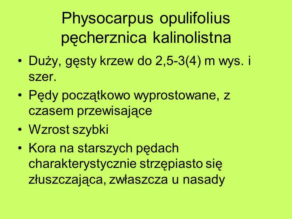Physocarpus opulifolius pęcherznica kalinolistna Duży, gęsty krzew do 2,5-3(4) m wys. i szer. Pędy początkowo wyprostowane, z czasem przewisające Wzro