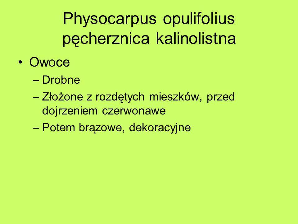Physocarpus opulifolius pęcherznica kalinolistna Owoce –Drobne –Złożone z rozdętych mieszków, przed dojrzeniem czerwonawe –Potem brązowe, dekoracyjne