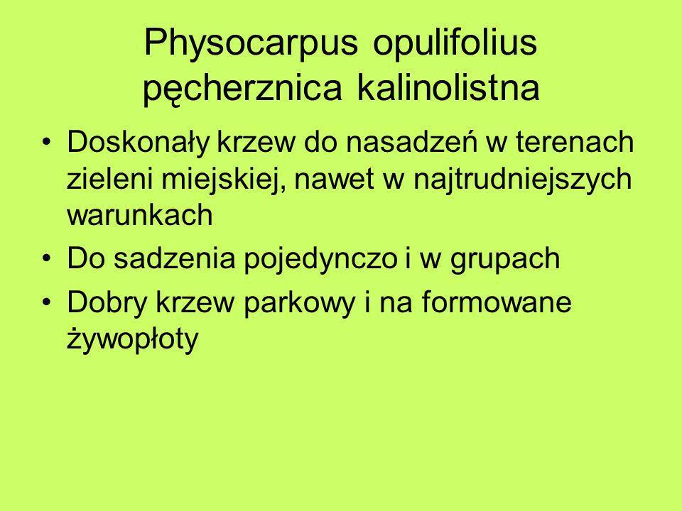Physocarpus opulifolius pęcherznica kalinolistna Doskonały krzew do nasadzeń w terenach zieleni miejskiej, nawet w najtrudniejszych warunkach Do sadze