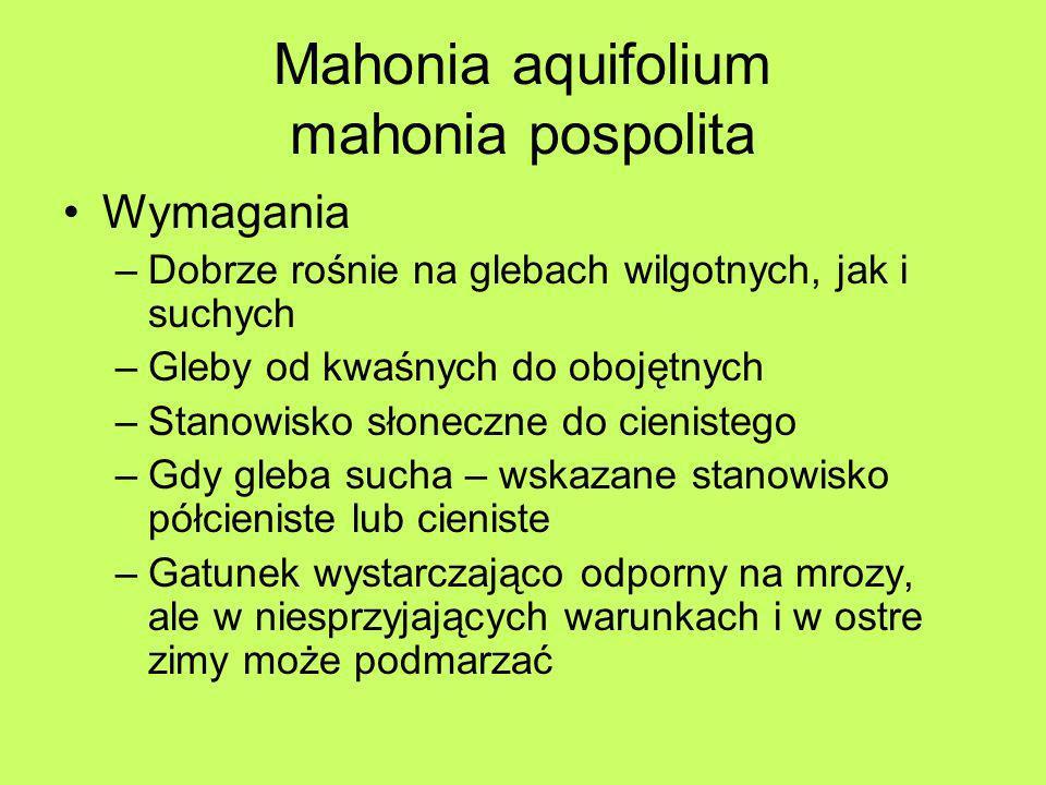Mahonia aquifolium mahonia pospolita Wymagania –Dobrze rośnie na glebach wilgotnych, jak i suchych –Gleby od kwaśnych do obojętnych –Stanowisko słonec