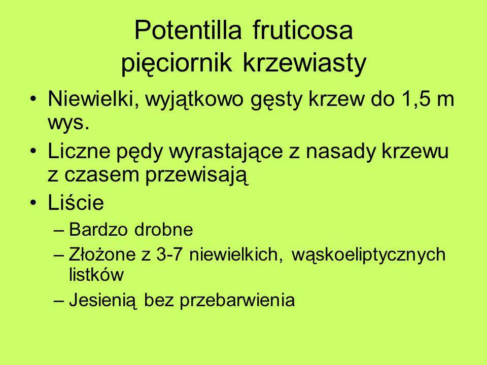 Potentilla fruticosa pięciornik krzewiasty Niewielki, wyjątkowo gęsty krzew do 1,5 m wys. Liczne pędy wyrastające z nasady krzewu z czasem przewisają