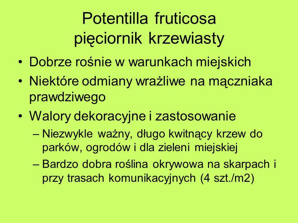 Potentilla fruticosa pięciornik krzewiasty Dobrze rośnie w warunkach miejskich Niektóre odmiany wrażliwe na mączniaka prawdziwego Walory dekoracyjne i