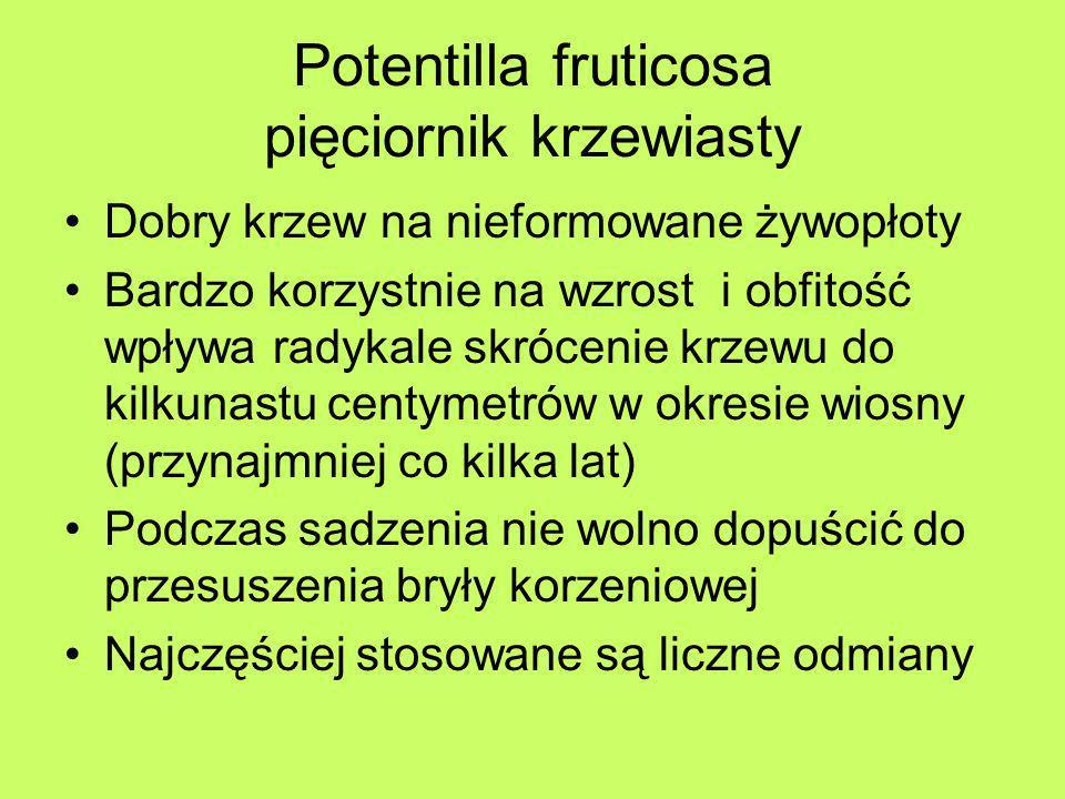 Potentilla fruticosa pięciornik krzewiasty Dobry krzew na nieformowane żywopłoty Bardzo korzystnie na wzrost i obfitość wpływa radykale skrócenie krze