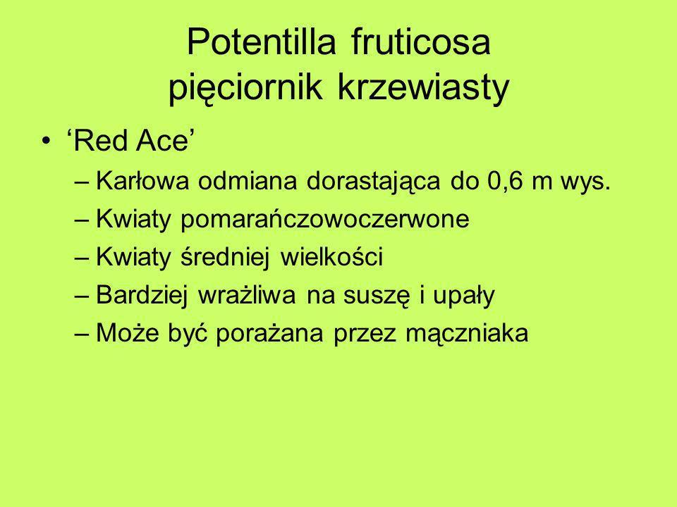 Potentilla fruticosa pięciornik krzewiasty Red Ace –Karłowa odmiana dorastająca do 0,6 m wys. –Kwiaty pomarańczowoczerwone –Kwiaty średniej wielkości