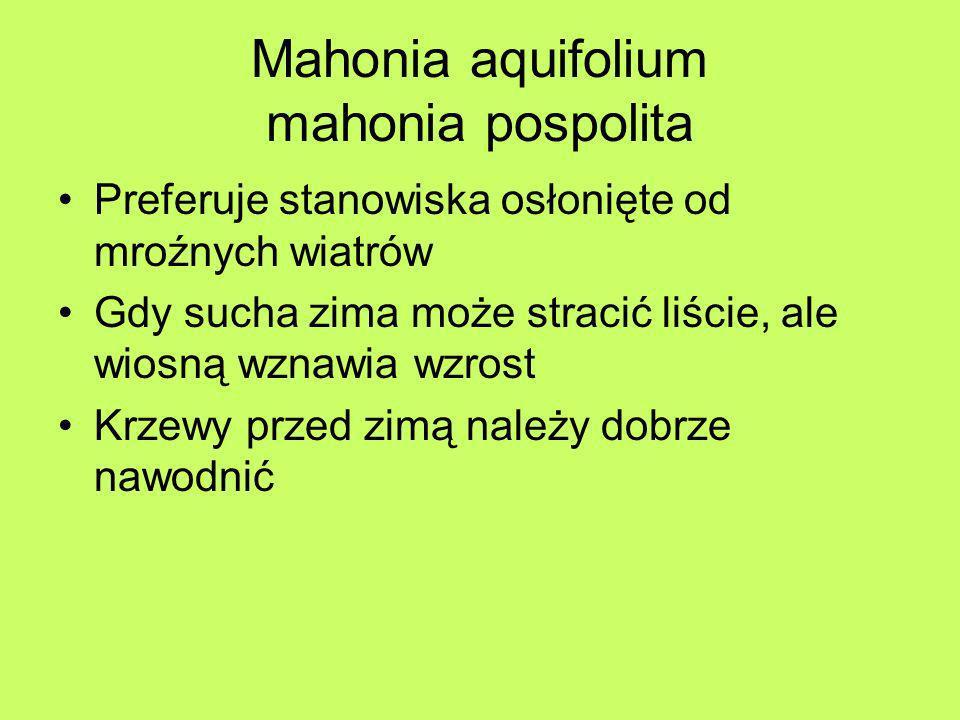 Mahonia aquifolium mahonia pospolita Walory dekoracyjne i zastosowanie –Bardzo cenny krzew zimozielony –Do parków i ogrodów –Najlepiej sadzić w grupach – jako roślinę okrywową oraz w nieciętych żywopłotach –Dobrze rośnie w cieniu pod drzewami –Owoce są cennym pokarmem dla ptaków –W Ameryce z owoców wyrabia się wino