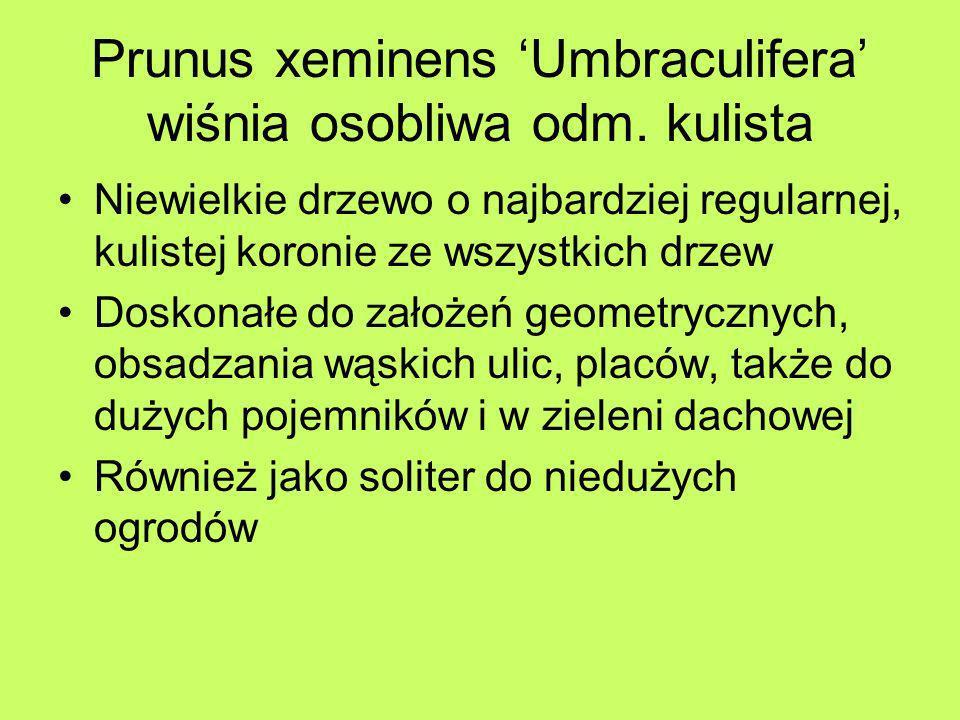 Prunus xeminens Umbraculifera wiśnia osobliwa odm. kulista Niewielkie drzewo o najbardziej regularnej, kulistej koronie ze wszystkich drzew Doskonałe