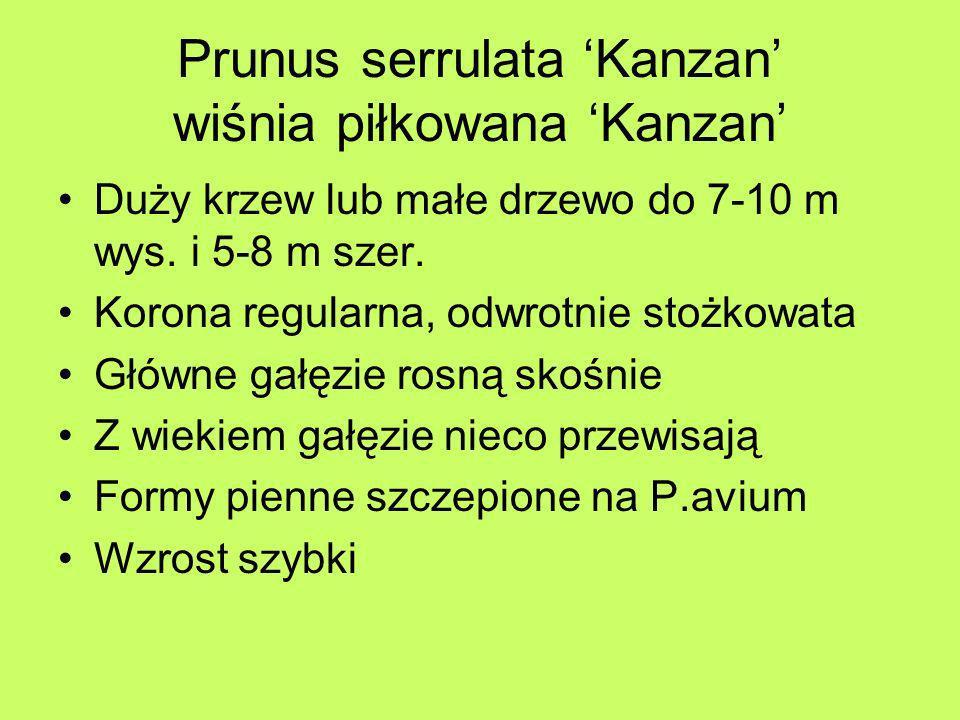 Prunus serrulata Kanzan wiśnia piłkowana Kanzan Duży krzew lub małe drzewo do 7-10 m wys. i 5-8 m szer. Korona regularna, odwrotnie stożkowata Główne