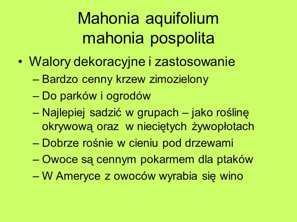 Mahonia aquifolium mahonia pospolita Walory dekoracyjne i zastosowanie –Bardzo cenny krzew zimozielony –Do parków i ogrodów –Najlepiej sadzić w grupac