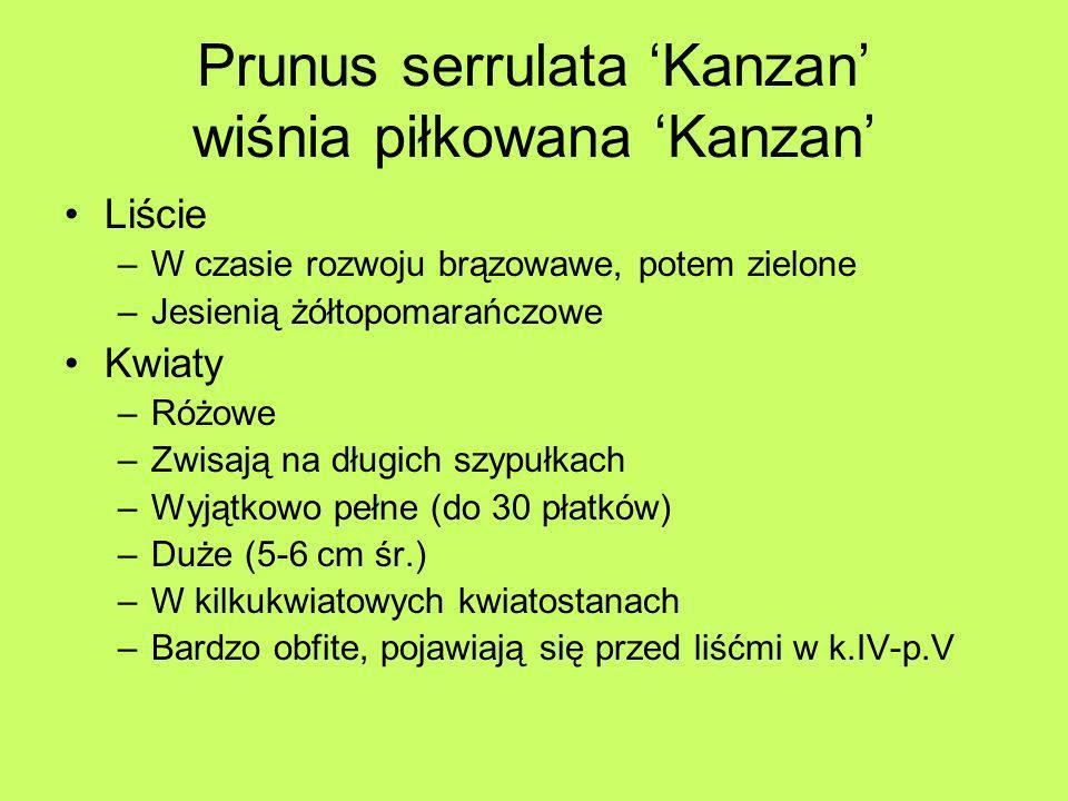 Prunus serrulata Kanzan wiśnia piłkowana Kanzan Liście –W czasie rozwoju brązowawe, potem zielone –Jesienią żółtopomarańczowe Kwiaty –Różowe –Zwisają