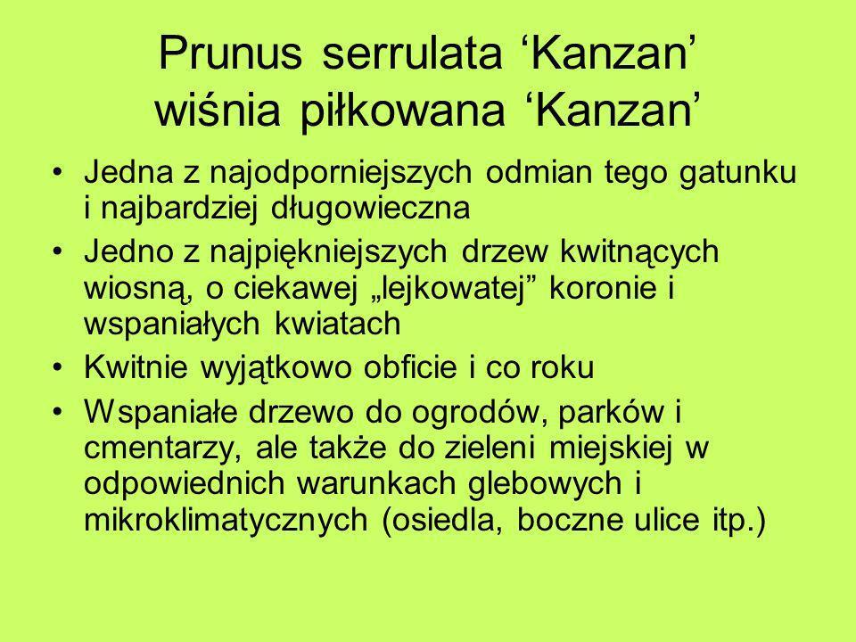 Prunus serrulata Kanzan wiśnia piłkowana Kanzan Jedna z najodporniejszych odmian tego gatunku i najbardziej długowieczna Jedno z najpiękniejszych drze